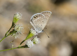 Ceraunus Blue _MG_1829.jpg