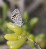 Ceraunus Blue female _MG_9776.jpg