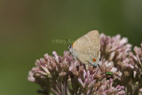 White M  Hairstreak _MG_3769.jpg