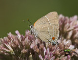 $ White M  Hairstreak _MG_3769c.jpg