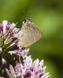 $ White M  Hairstreak _MG_3845.jpg
