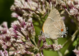 $ White M  Hairstreak _MG_3947.jpg