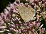 $ White M  Hairstreak _MG_3961.jpg