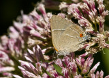 $ White M  Hairstreak _MG_3964.jpg