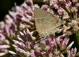 $ White M  Hairstreak _MG_3965.jpg