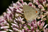 $ White M  Hairstreak _MG_3966.jpg
