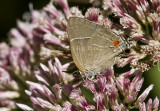 $ White M  Hairstreak _MG_3967.jpg
