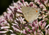 $ White M  Hairstreak _MG_3968.jpg