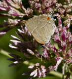 $ White M  Hairstreak _MG_3970.jpg