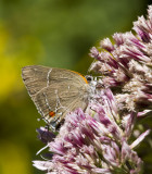 $ White M  Hairstreak _MG_3990.jpg