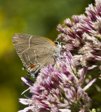 $ White M  Hairstreak _MG_3991.jpg