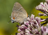 _ White M  Hairstreak _MG_4006.jpg