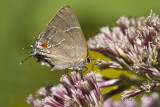 $ White M  Hairstreak _MG_4008.jpg