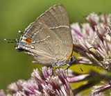 _ White M  Hairstreak _MG_4010.jpg