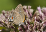 $ White M  Hairstreak _MG_4014.jpg