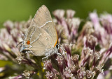 $ White M  Hairstreak _MG_4015.jpg