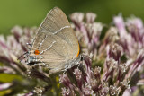 $ White M  Hairstreak _MG_4017.jpg