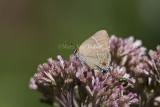 $$ White M  Hairstreak _MG_3768.jpg