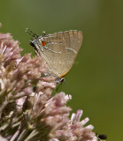 __ White M  Hairstreak _MG_3791.jpg