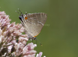 __ White M  Hairstreak _MG_3792.jpg