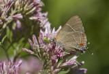 White M  Hairstreak _MG_3922.jpg