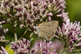 $$ White M  Hairstreak _MG_3924.jpg