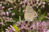 $$ White M  Hairstreak _MG_3928.jpg