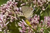 $$ White M  Hairstreak _MG_3943.jpg