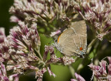 $$ White M  Hairstreak _MG_3946.jpg