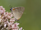 ___ White M  Hairstreak _MG_3792.jpg