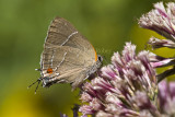 ___ White M  Hairstreak _MG_4005.jpg