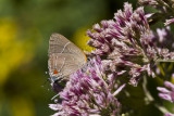 Hairstreak _MG_3980.jpg