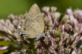 Hairstreak _MG_4015.jpg