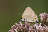 White M  Hairstreak _MG_3770.jpg