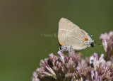 White M  Hairstreak _MG_3773.jpg
