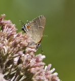 White M  Hairstreak _MG_3790.jpg