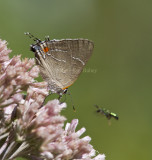 _ White M  Hairstreak _MG_3795.jpg
