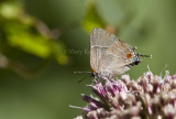 White M  Hairstreak _MG_3816.jpg