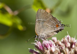 White M  Hairstreak _MG_3817.jpg