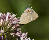 White M  Hairstreak _MG_3821.jpg