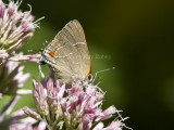 White M  Hairstreak _MG_3825.jpg