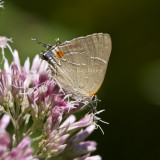 White M  Hairstreak _MG_3830.jpg