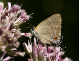 White M  Hairstreak _MG_3866.jpg