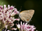 White M  Hairstreak _MG_3872.jpg
