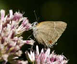 White M  Hairstreak _MG_3873.jpg