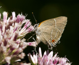 White M  Hairstreak _MG_3875.jpg