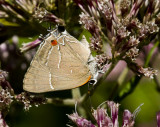 White M  Hairstreak _MG_3909.jpg