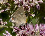 White M  Hairstreak _MG_3910.jpg