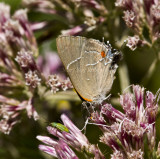 White M  Hairstreak _MG_3914.jpg