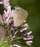 White M  Hairstreak _MG_3920.jpg